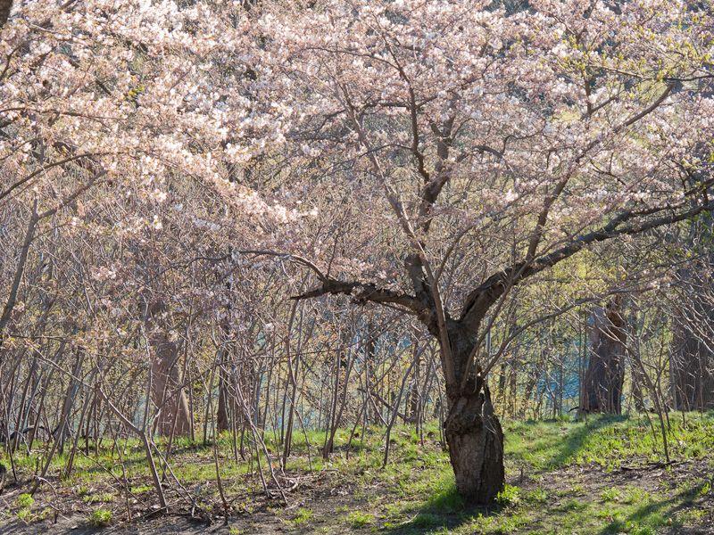 """""""High Park"""" Toronto cherry blossom sakura"""