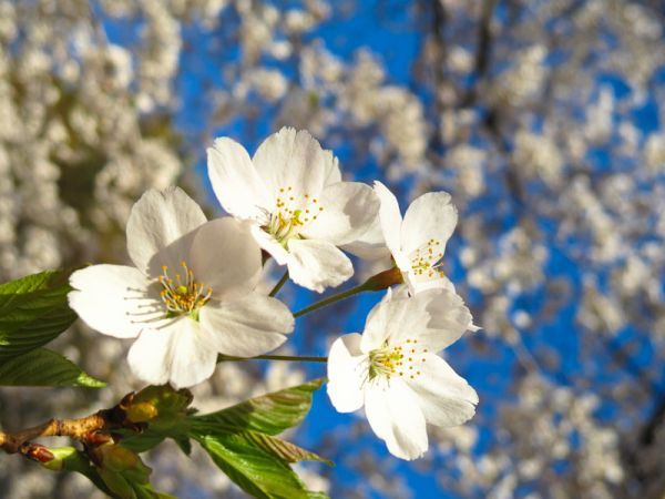 """High Park"" Toronto cherry blossom sakura flowers"