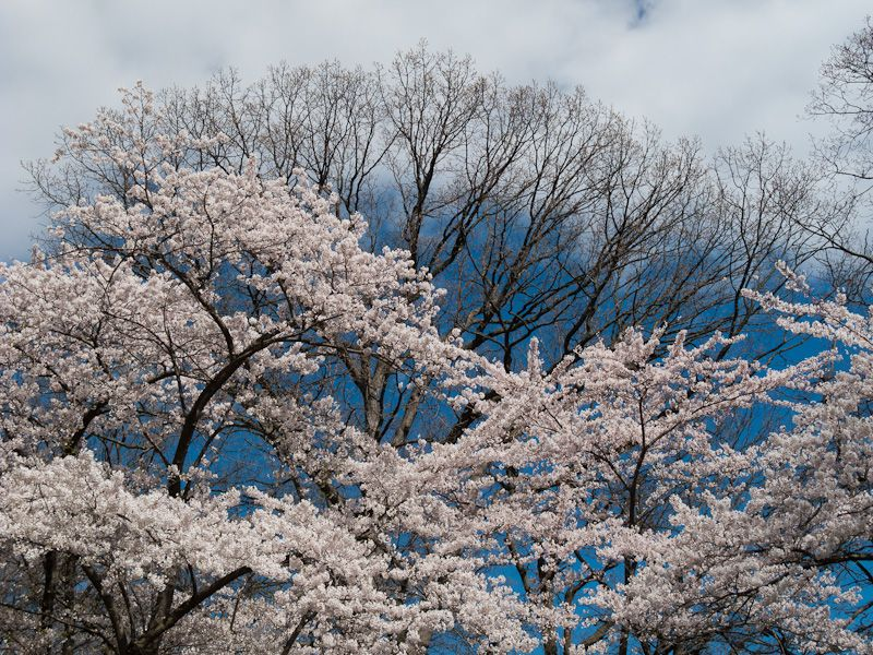 """High Park"" Toronto cherry blossom sakura sky tree"