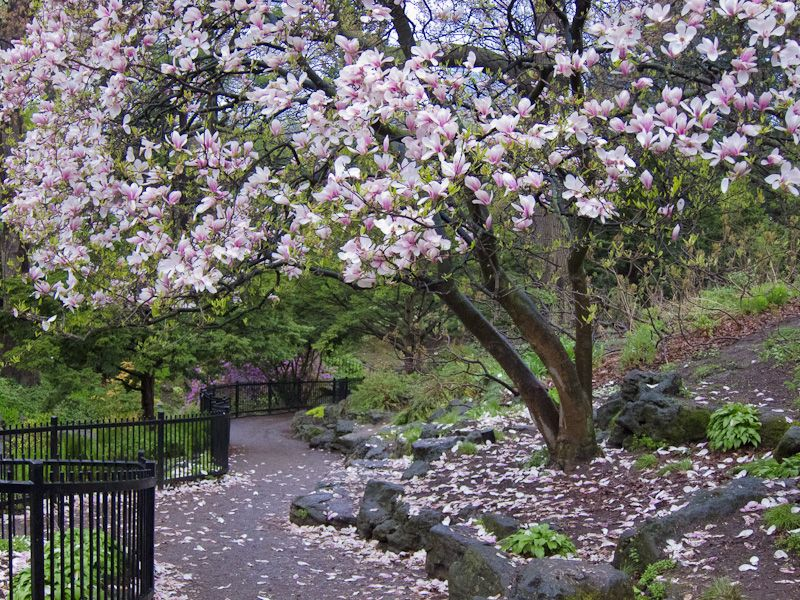"""High Park"" Toronto Spring rain magnolia"