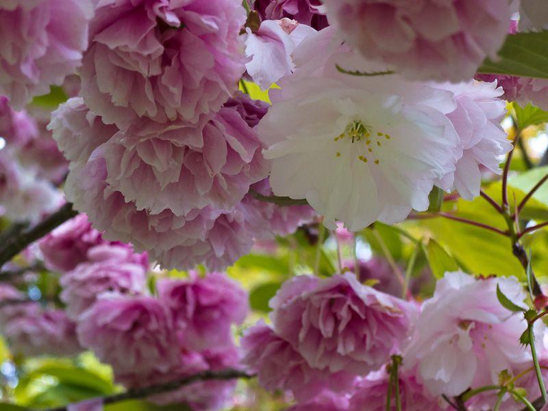 """""""High Park"""" Toronto cherry blossom Spring sakura"""