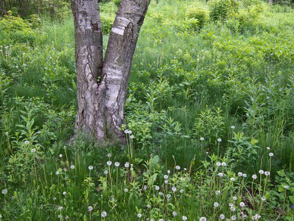 """High Park"" Toronto Spring plants birch"