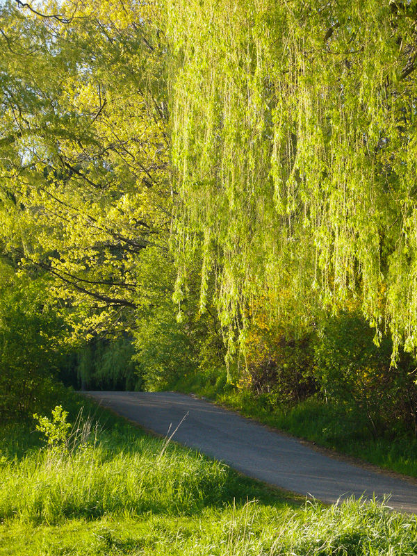 """High Park"" Toronto Spring willows road"