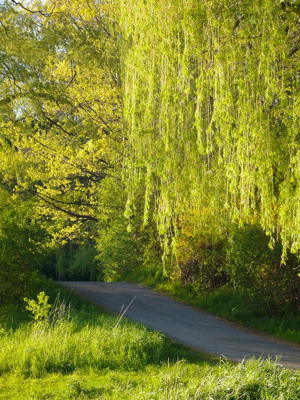 """High Park"" Toronto Spring willows road"