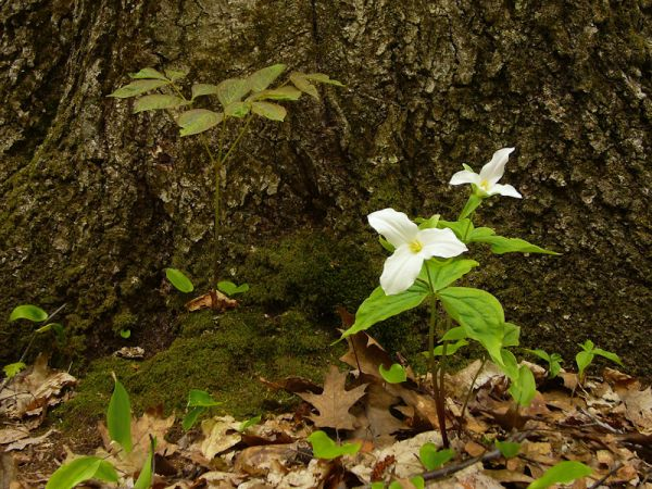 Awenda Ontario plant trillium flower bark woods