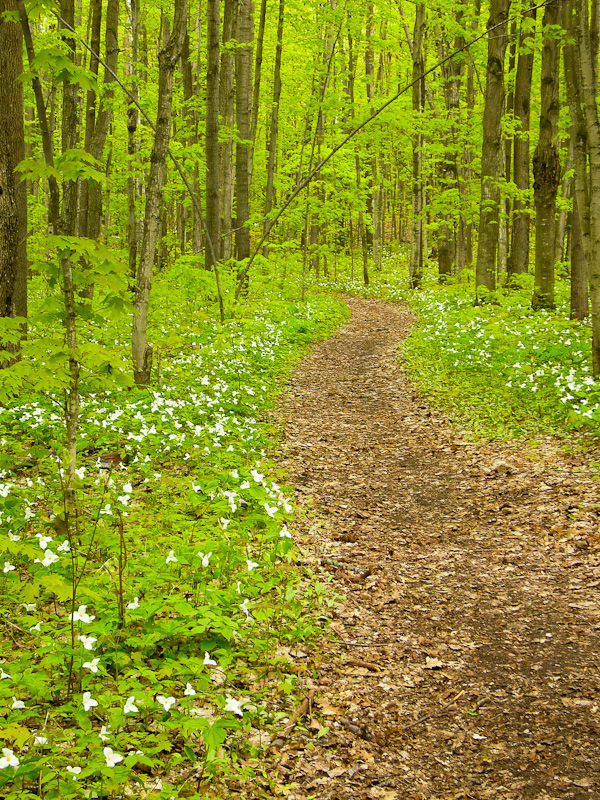 Awenda Ontario plant trillium flowers woods path