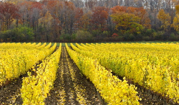 Niagara, wyneyard, Autumn, Fall, colors, wines