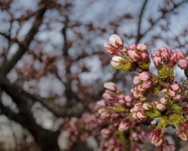 """High Park"" Toronto sakura cherry blossom flower"