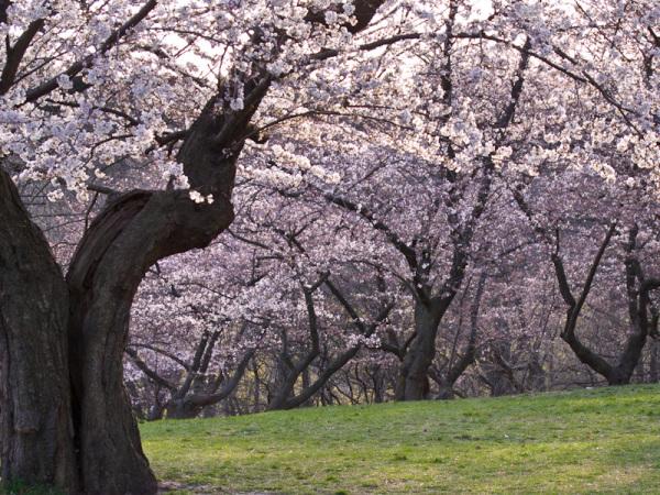 """Toronto """"High Park"""" spring sakura cherry blossom"""