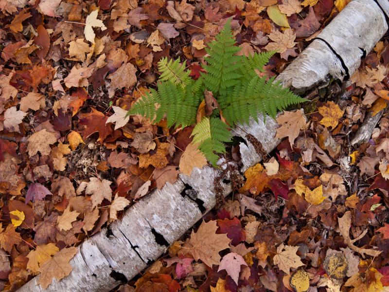 Ontario Fall Autumn red leaves fern birch green