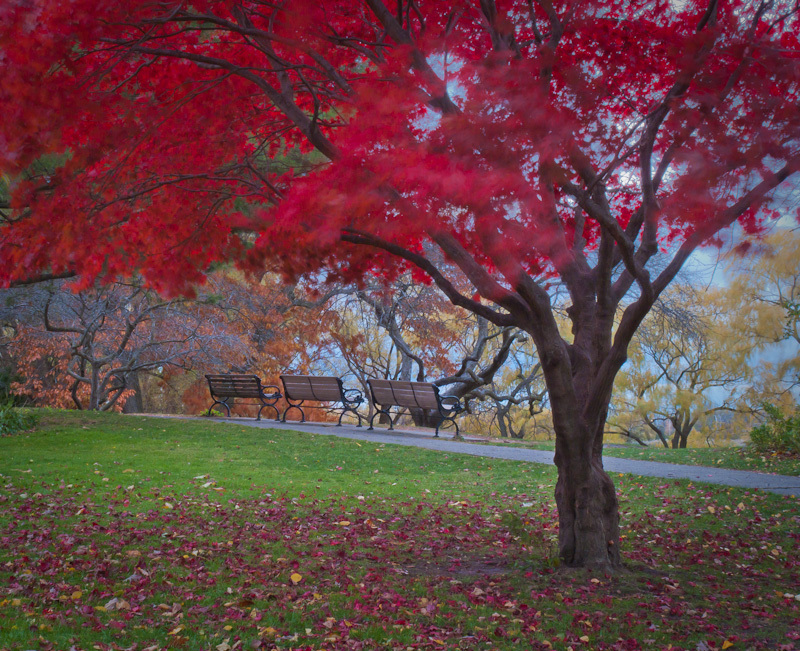 High Park, Autumn, red, japanese, maple, Fall,