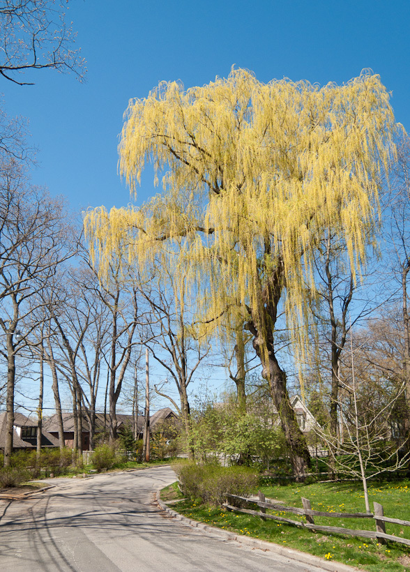 Toronto Spring willow blue sky yellow street