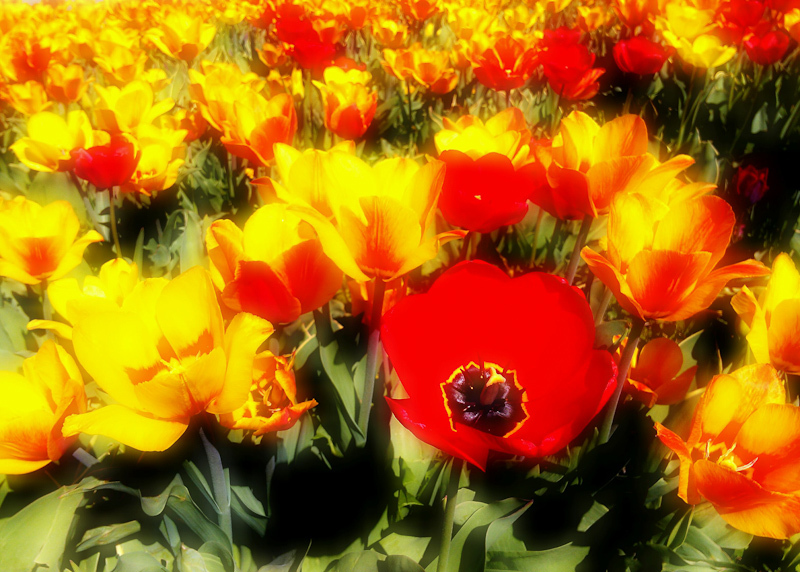 Spring flowers red yellow tulips