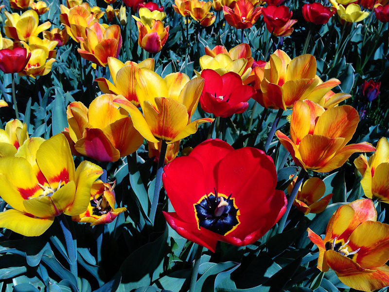 Spring frolwers tulips red yellow