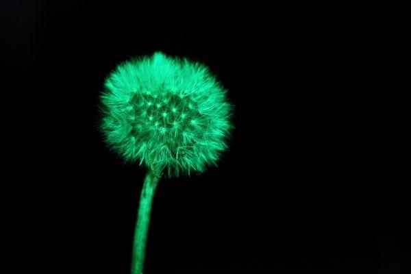Alien dandelion