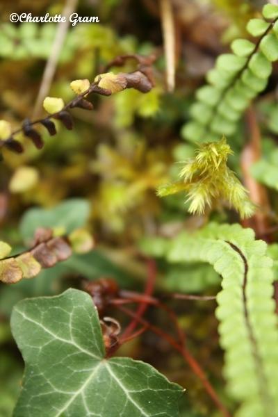 Limousin - Vert (1)