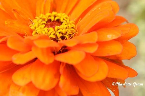 Limousin - Orange (7)