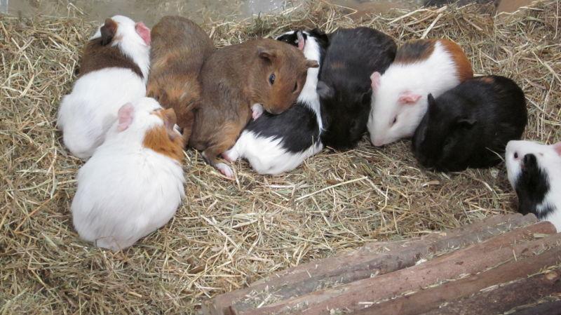 Guinea pig pile-on