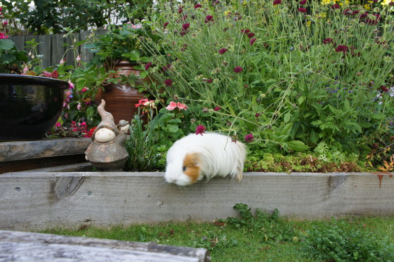 guinea pigs can jump
