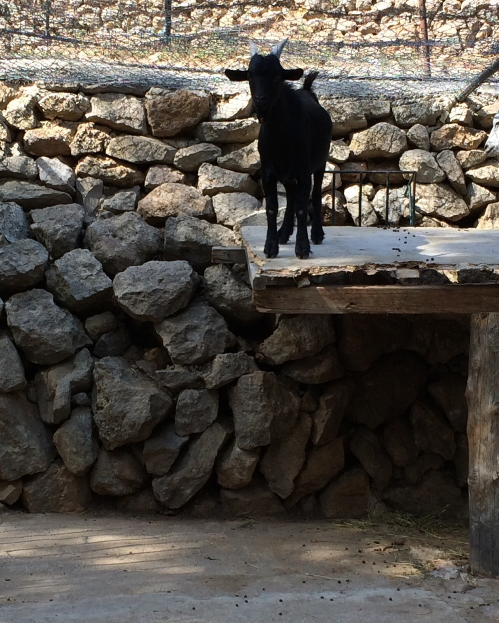 goat on roof