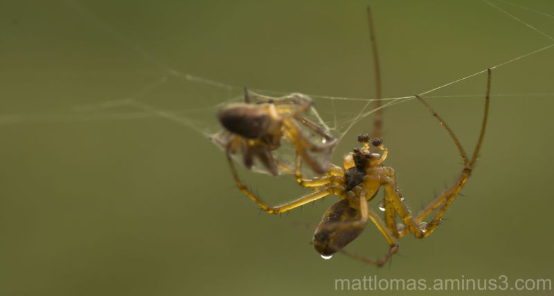 Spider killing its prey, another spider!