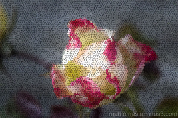 Different Aspect of the Rose