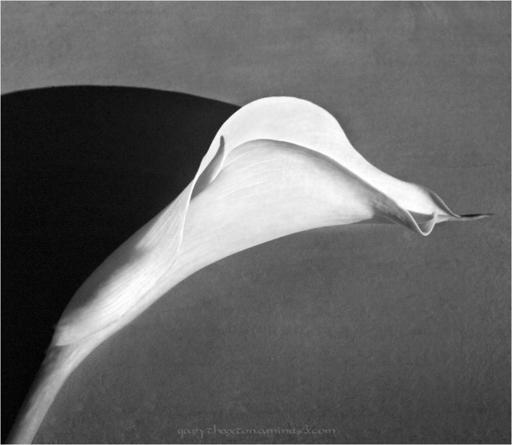 Calla Profile - Abstract
