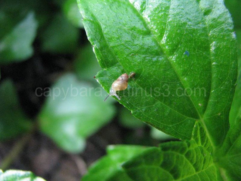 A tiny snail leaves a trail of poop on a leaf