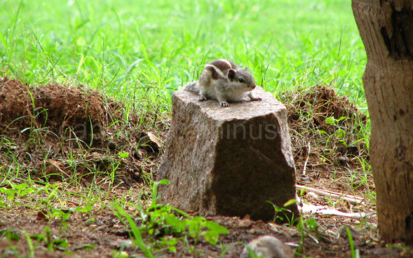 Squirrel crouching on a tree stump