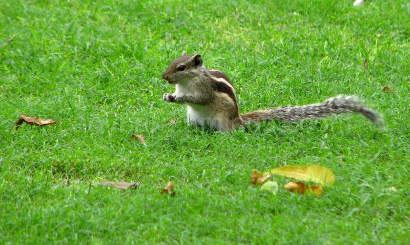 Squirrel feeding on the grass