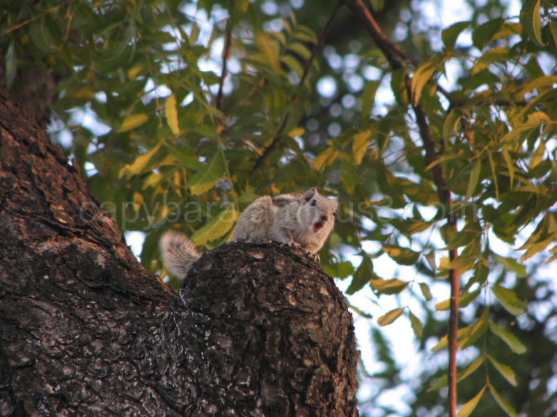 Squirrel calling from a neem tree