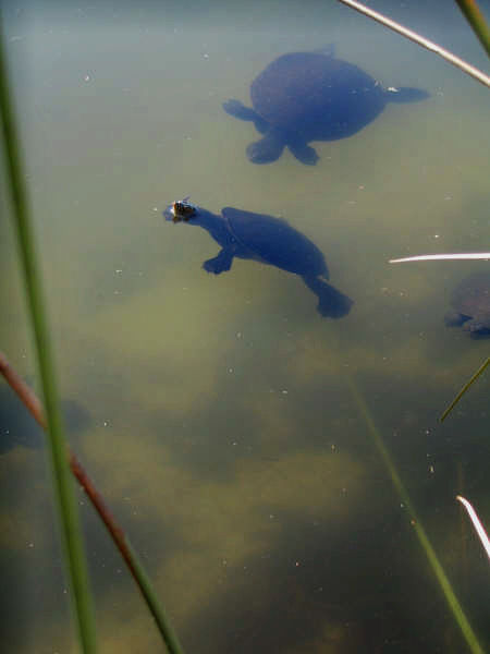Fraser Island turtle lake