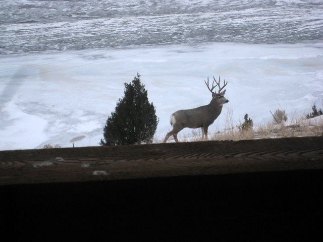 buck in front yard