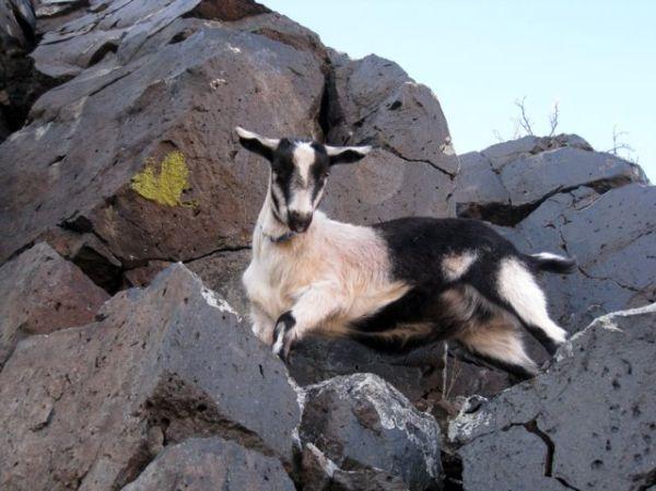 goat on rocks