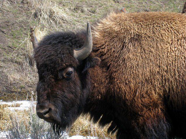 last wild bison