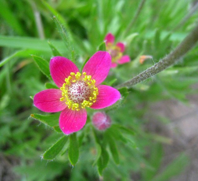 prairie pink