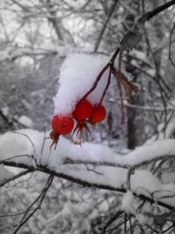 snow on rose hips
