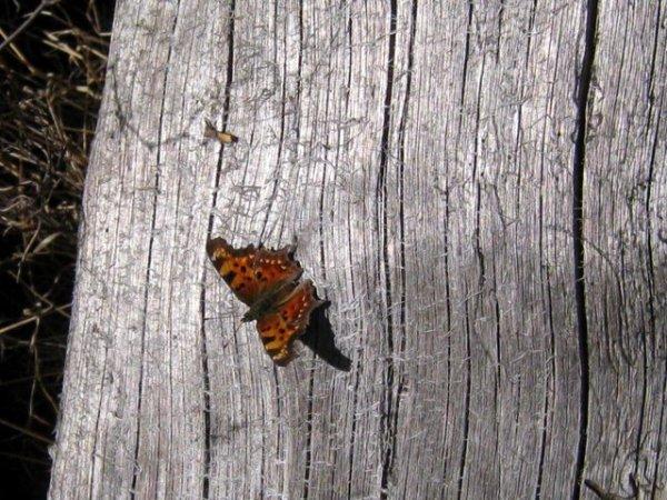 butterfly wood