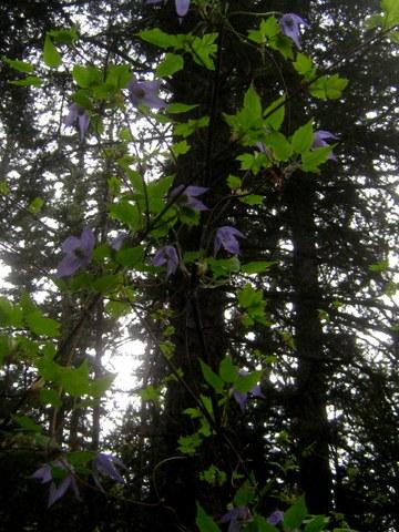 purple flower vine