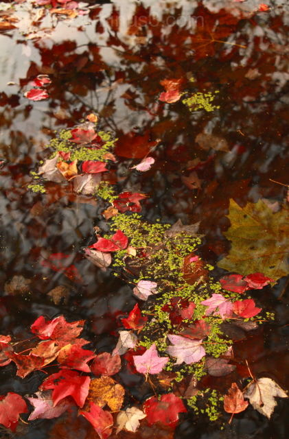 leaves, fall, water, reflection