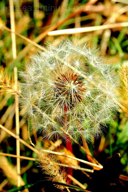 wish, dandelion