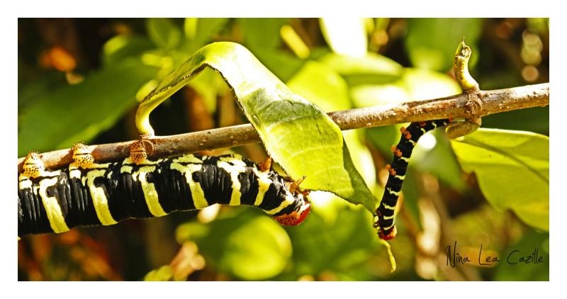 Tetrio sphinx caterpillar, Dominica, roseau