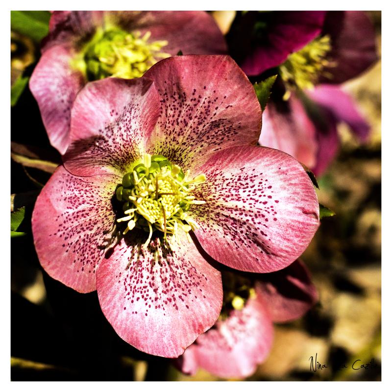 Lentin Roses