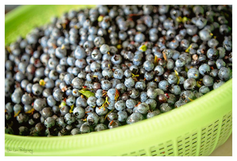 Fresh Picked Wild Maine Blueberries