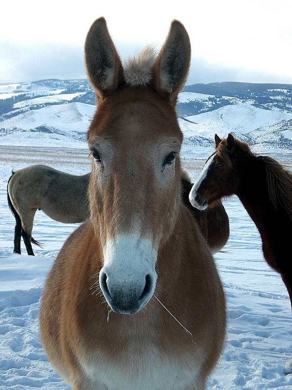 Mule and friends