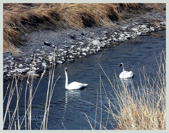 Spring Swan return