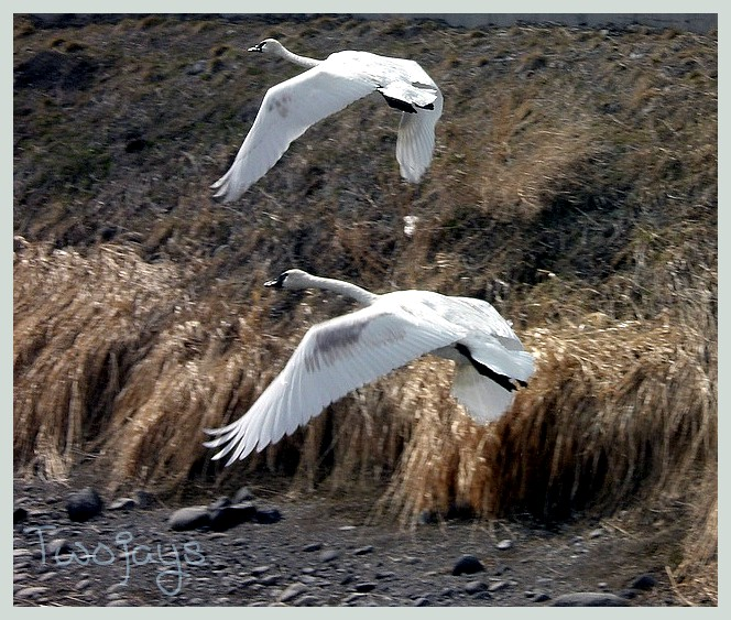 Swans lift off water