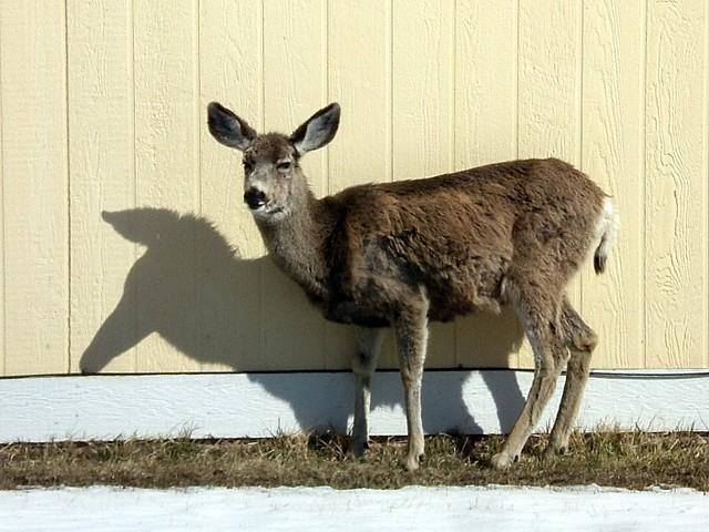 Mule deer in the sun