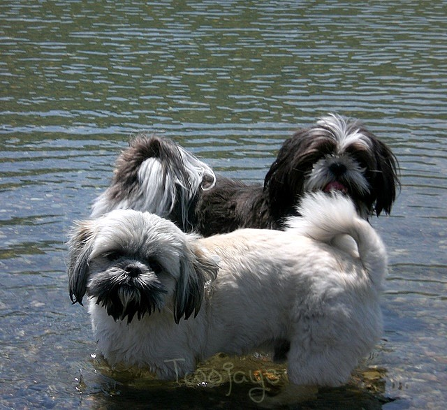 Dogs wading in Daily Lake