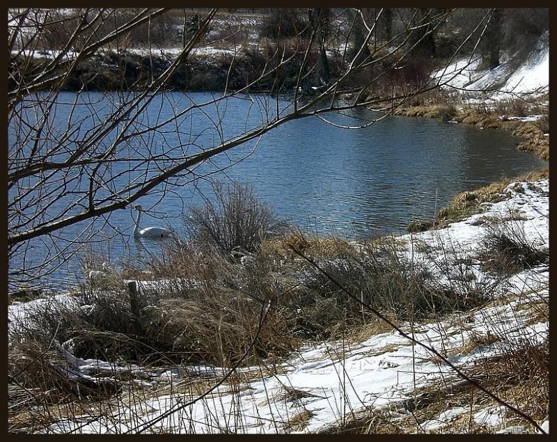 Trumpeter swans in Emigrant Pond